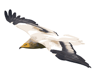 The Egyptian Vulture's Odyssey - logo